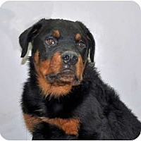 Adopt A Pet :: Moose - Port Washington, NY