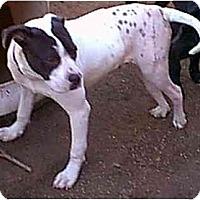 Adopt A Pet :: BRUCE LEE - dewey, AZ