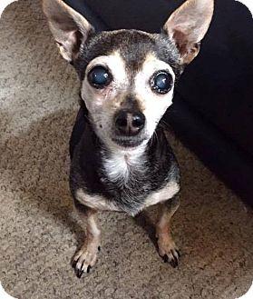Chihuahua Mix Dog for adoption in San Diego, California - Contessa