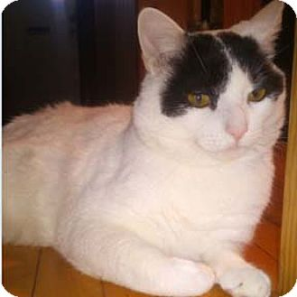 Domestic Shorthair Cat for adoption in Verdun, Quebec - Pirate