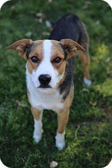 Beagle/Blue Heeler Mix Dog for adoption in Phoenix, Arizona - Duke
