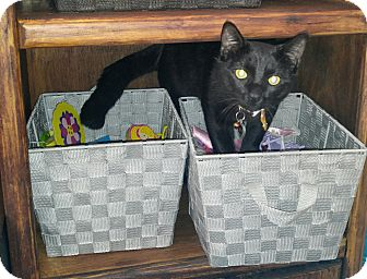 Domestic Shorthair Cat for adoption in Goldsboro, North Carolina - Danny Boy