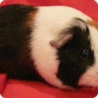 Adopt A Pet :: Squeaks - Williston, FL