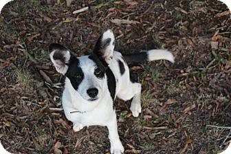 Collie/Corgi Mix Puppy for adoption in Monroe, North Carolina - Holly