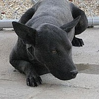 Bull Terrier/Labrador Retriever Mix Dog for adoption in Sherman Oaks, California - Nuri