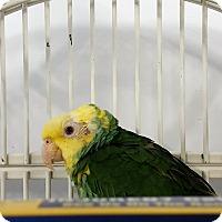 Adopt A Pet :: Sugar - Grandview, MO