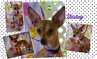 Chihuahua Mix Dog for adoption in New Stanton, Pennsylvania - Turkey