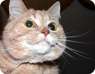 American Shorthair Cat for adoption in Xenia, Ohio - Katy