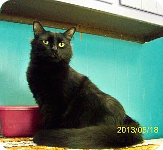 Domestic Longhair Cat for adoption in Dover, Ohio - Aries