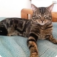 Adopt A Pet :: Big Boy - Vancouver, BC