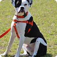 Adopt A Pet :: Winston-Adoption Pending - Pinehurst, NC