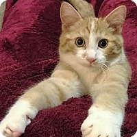 Adopt A Pet :: Scotch - Plymouth, MN