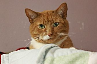 Domestic Shorthair Cat for adoption in New Richmond,, Wisconsin - Twitch