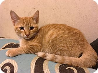 Domestic Shorthair Kitten for adoption in North Wilkesboro, North Carolina - Kirby