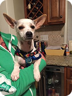 Chihuahua/Dachshund Mix Dog for adoption in Wethersfield, Connecticut - Atom