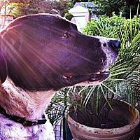 Pointer Mix Dog for adoption in Garland, Texas - Seven