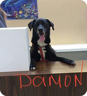 Labrador Retriever/Husky Mix Dog for adoption in Salem, Ohio - Damon