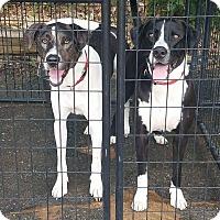 Adopt A Pet :: Domino - Chippewa Falls, WI