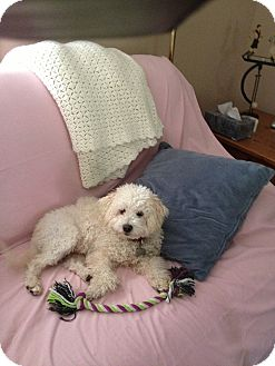Bichon Frise/Poodle (Miniature) Mix Dog for adoption in Norwalk, Connecticut - Lucky