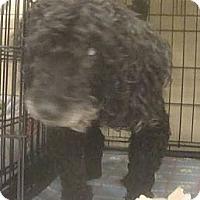 Adopt A Pet :: Shadow - BLIND - Phoenix, AZ