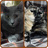 Domestic Shorthair Cat for adoption in Staten Island, New York - Jade and Jewel