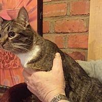 Domestic Shorthair Cat for adoption in Chesapeake, Virginia - Tina