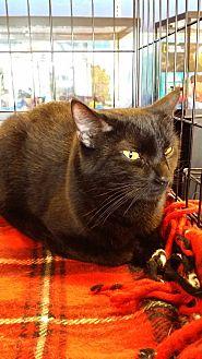 Domestic Shorthair Cat for adoption in Marietta, Georgia - Alpha