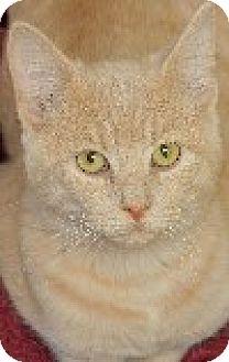 Domestic Shorthair Kitten for adoption in Savannah, Missouri - Hilde