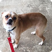 Pug/Chihuahua Mix Dog for adoption in Asheville, North Carolina - Mellow