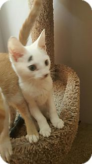 Domestic Shorthair Kitten for adoption in Highland, Indiana - Sugar