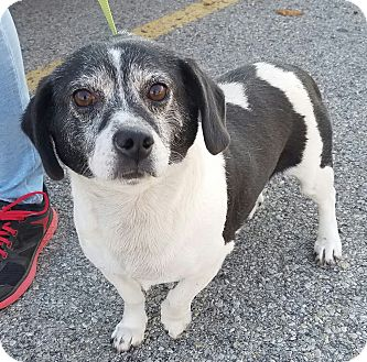 Beagle Mix Dog for adoption in Cincinnati, Ohio - Frosty