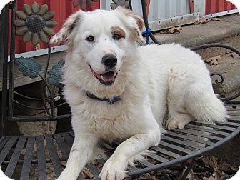 Great Pyrenees/Australian Shepherd Mix Dog for adoption in Kiowa, Oklahoma - Koda