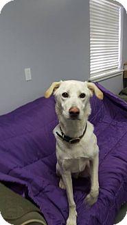Labrador Retriever/Shepherd (Unknown Type) Mix Dog for adoption in Hawk Point, Missouri - Windsor