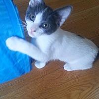 Domestic Shorthair Cat for adoption in Warren, Michigan - Boy George