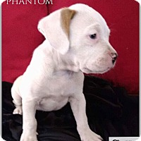 Adopt A Pet :: Phantom - DeForest, WI