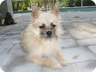 Pomeranian/Brussels Griffon Mix Dog for adoption in Odessa, Florida - CHEWY