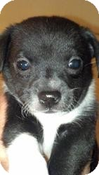 Terrier (Unknown Type, Small)/Chihuahua Mix Puppy for adoption in Las Vegas, Nevada - Marty