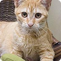 Adopt A Pet :: Marmalade - Chicago, IL