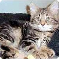 Adopt A Pet :: Cosmo - Arlington, VA
