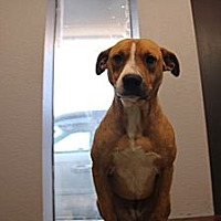 Blue Lacy/Texas Lacy/Boxer Mix Dog for adoption in Pflugerville, Texas - Cheyenne