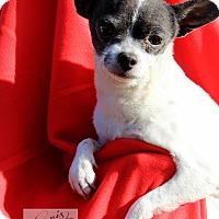 Adopt A Pet :: Precious - New Windsor, NY