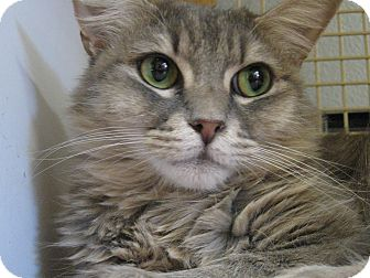 Domestic Mediumhair Cat for adoption in Brea, California - PRINCESS