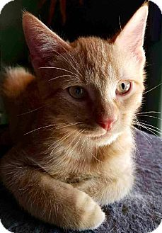 Domestic Shorthair Cat for adoption in Tucson, Arizona - Murray - the social butterfly