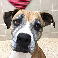 Adopt A Pet :: Abby - Kerrville, TX