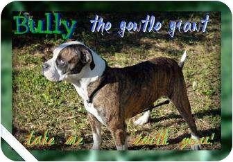 Boxer/American Bulldog Mix Dog for adoption in Lakeland, Florida - Bully