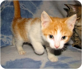 Domestic Shorthair Kitten for adoption in Norwich, New York - Rico