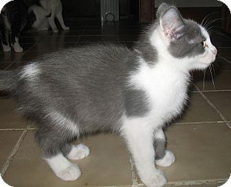 Domestic Shorthair Kitten for adoption in Acme, Pennsylvania - Danny