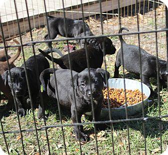 Labrador Retriever Mix Puppy for adoption in Largo, Florida - PRANCER