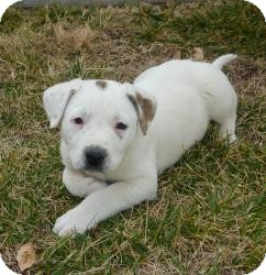 Dalmatian/Australian Cattle Dog Mix Puppy for adoption in Las Vegas, Nevada - Candy's Cannon