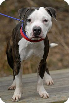 American Staffordshire Terrier Mix Dog for adoption in Pottsville, Pennsylvania - Stormy-URGENT
